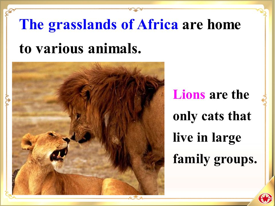 The grasslands of Africa are home to various animals. Lions are the only cats that live in large family groups.