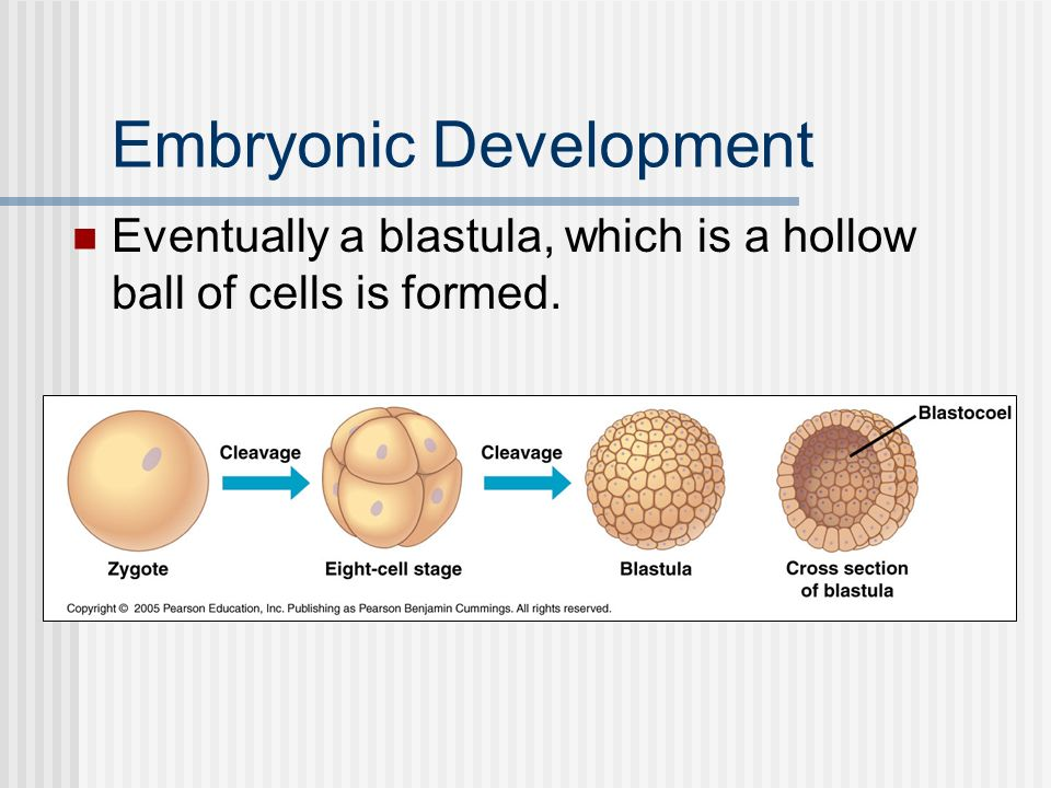 Embryonic Development Eventually a blastula, which is a hollow ball of cells is formed.