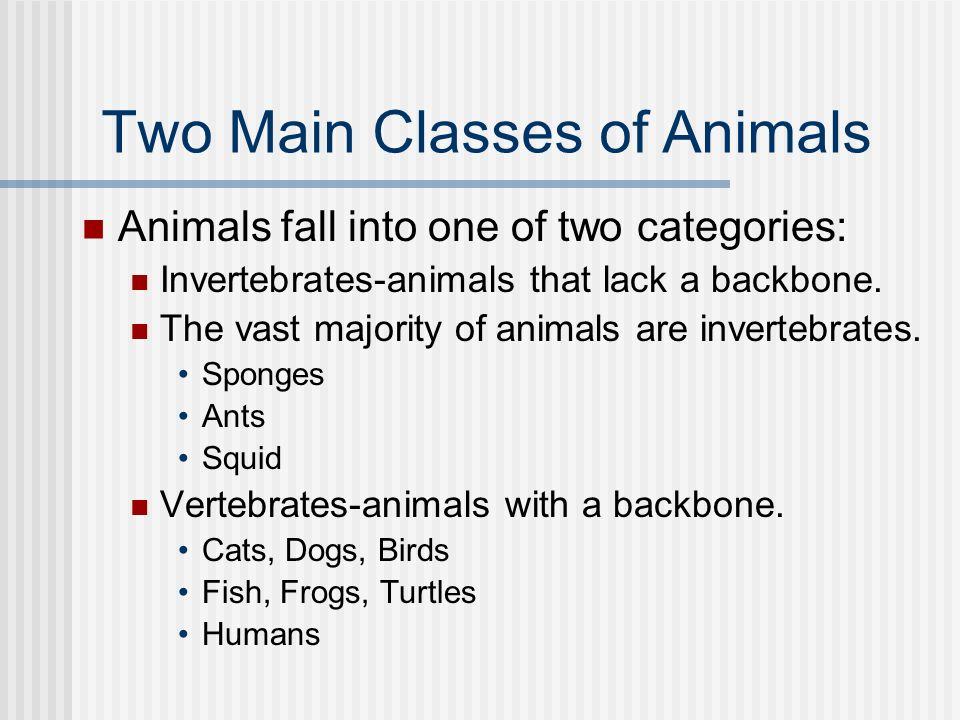 Two Main Classes of Animals Animals fall into one of two categories: Invertebrates-animals that lack a backbone. The vast majority of animals are inve