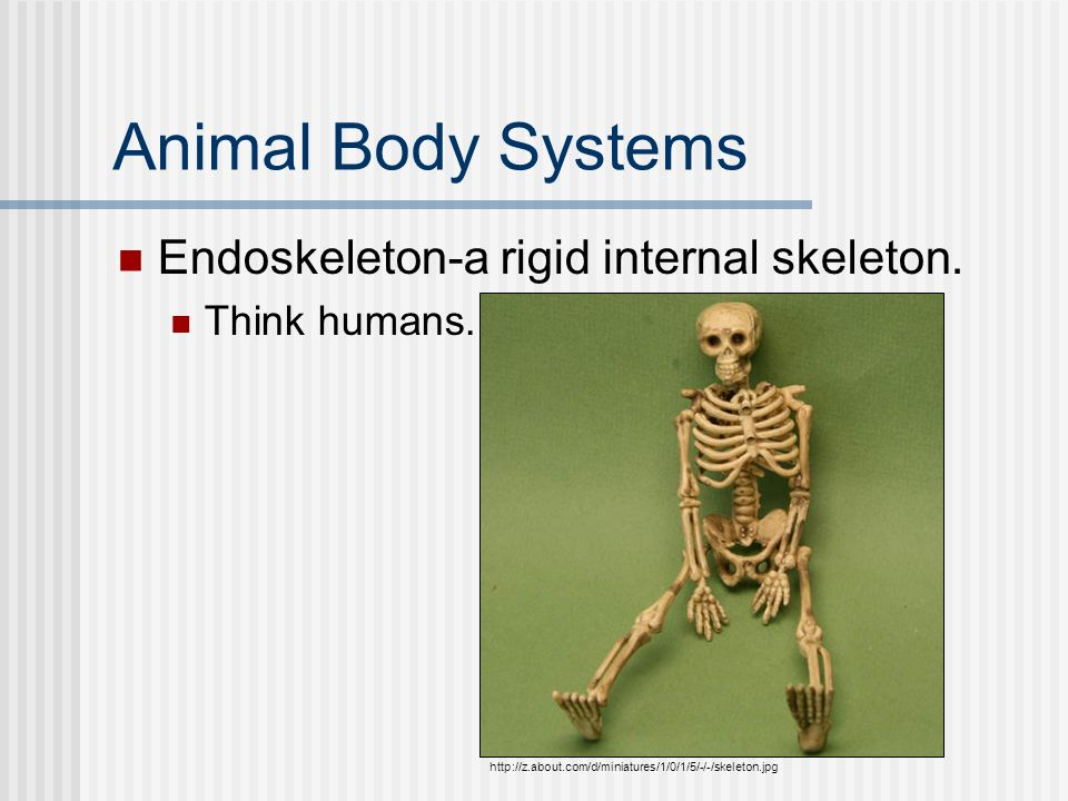 Animal Body Systems Endoskeleton-a rigid internal skeleton. Think humans. http://z.about.com/d/miniatures/1/0/1/5/-/-/skeleton.jpg