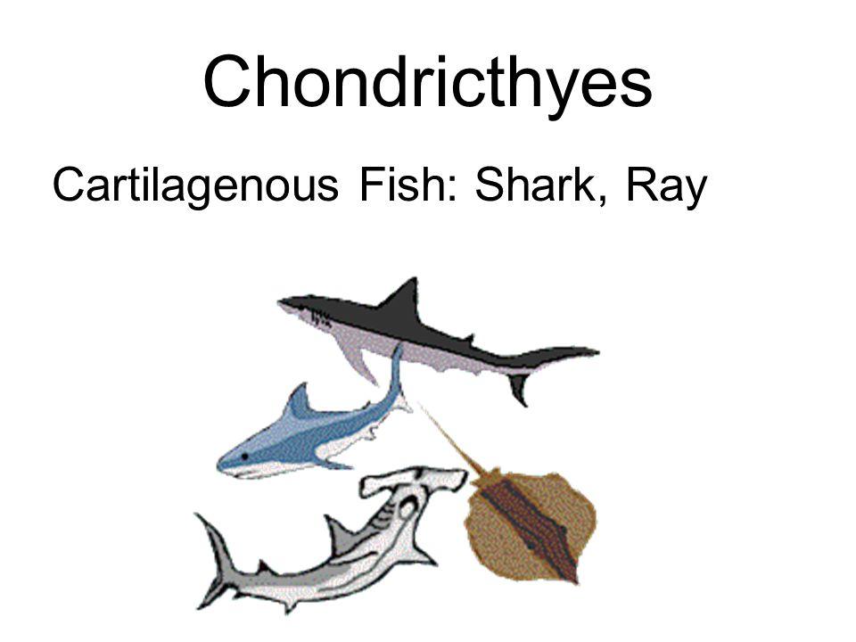 Chondricthyes Cartilagenous Fish: Shark, Ray