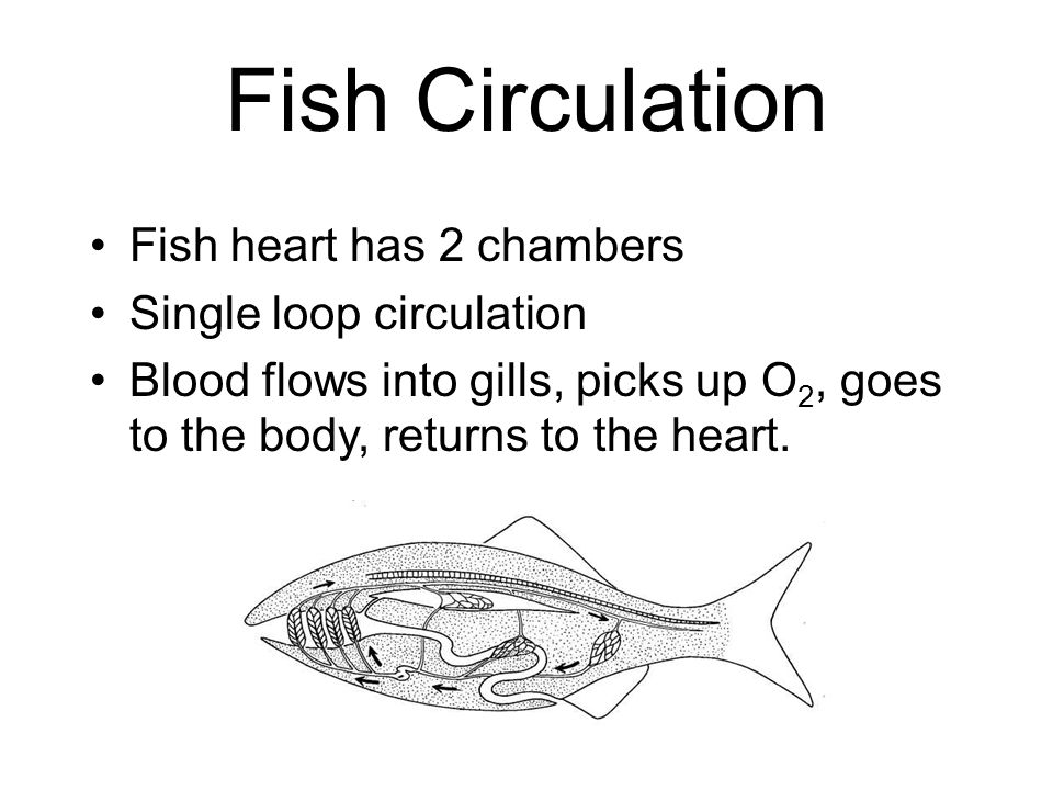 Fish Circulation Fish heart has 2 chambers Single loop circulation Blood flows into gills, picks up O 2, goes to the body, returns to the heart.