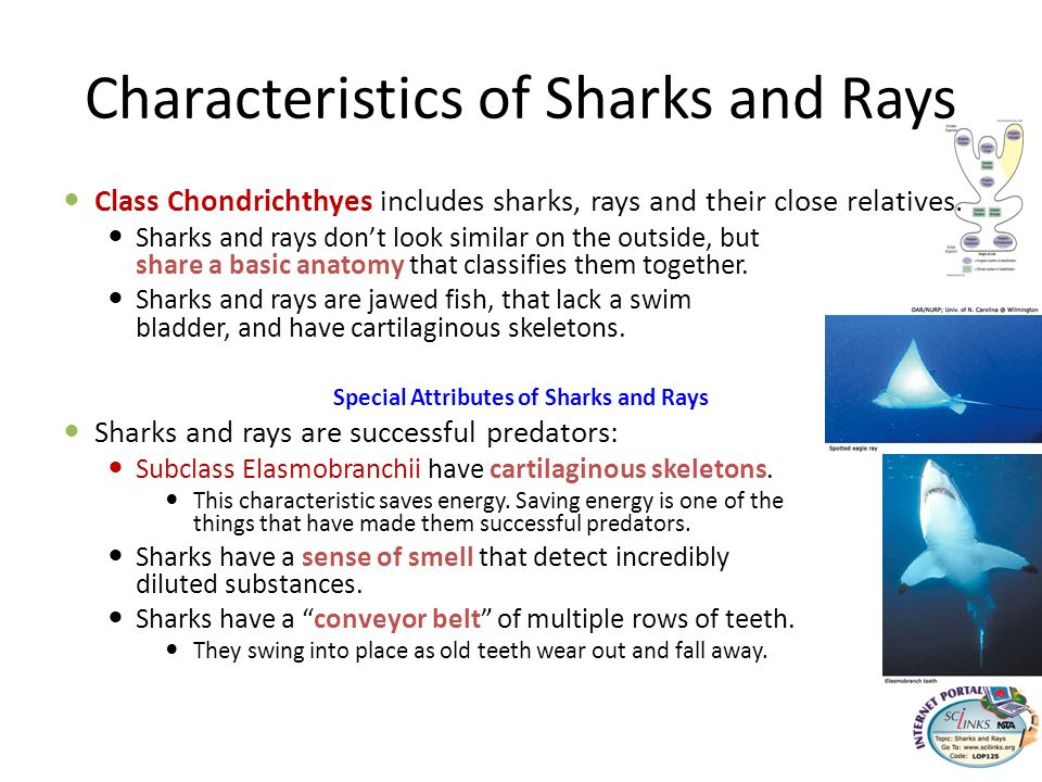 Characteristics of Sharks and Rays Class Chondrichthyes includes sharks, rays and their close relatives. Sharks and rays dont look similar on the outs