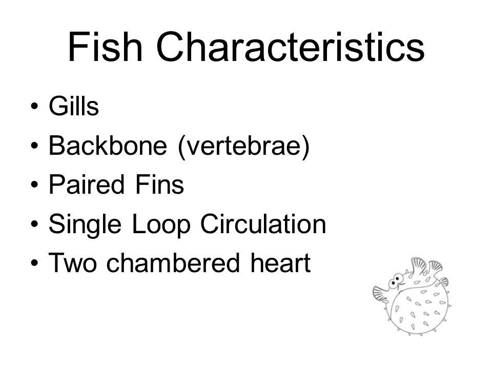 Fish Characteristics Gills Backbone (vertebrae) Paired Fins Single Loop Circulation Two chambered heart