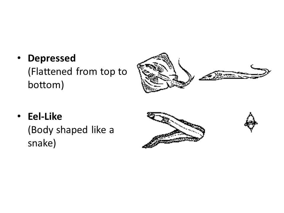 Depressed (Flattened from top to bottom) Eel-Like (Body shaped like a snake)