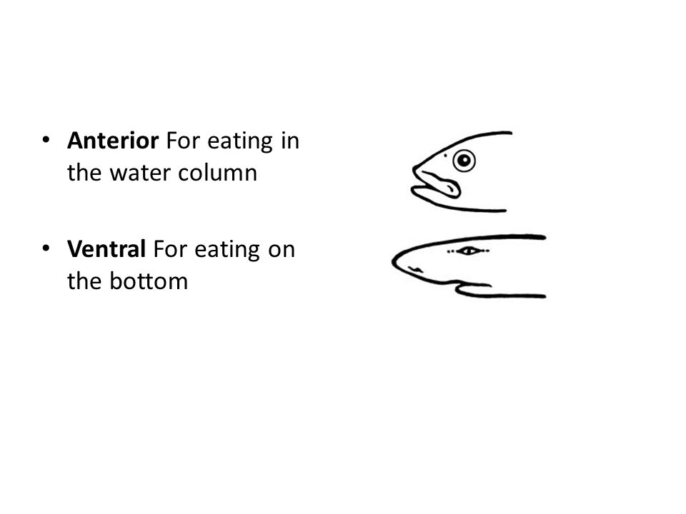 Anterior For eating in the water column Ventral For eating on the bottom