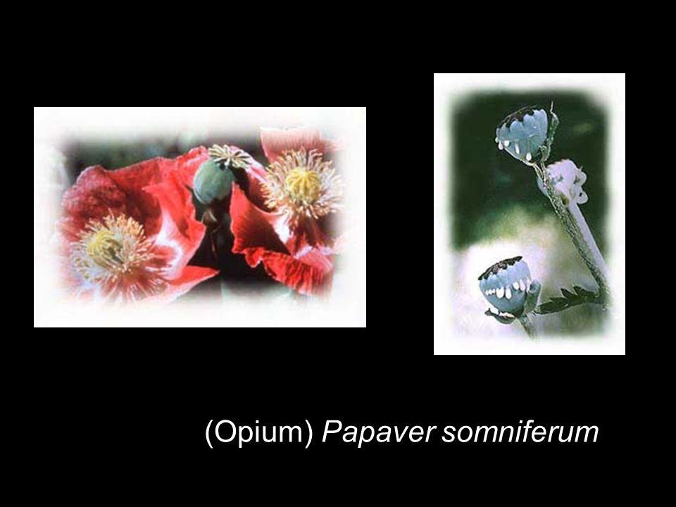 (Opium) Papaver somniferum