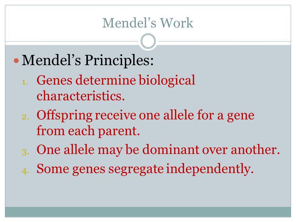 Mendels Work Mendels Principles: 1. Genes determine biological characteristics. 2. Offspring receive one allele for a gene from each parent. 3. One al