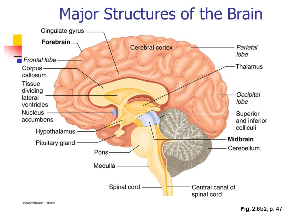 Major Structures of the Brain Fig. 2.6b2, p. 47