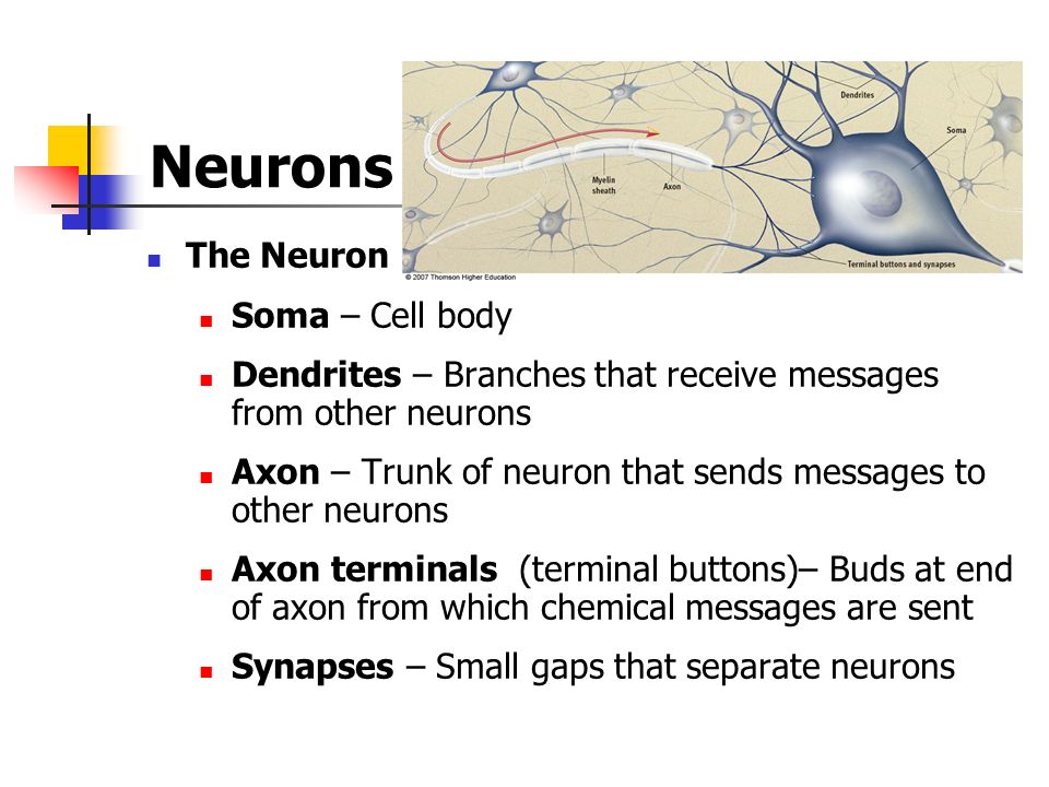 Neurons The Neuron Soma – Cell body Dendrites – Branches that receive messages from other neurons Axon – Trunk of neuron that sends messages to other