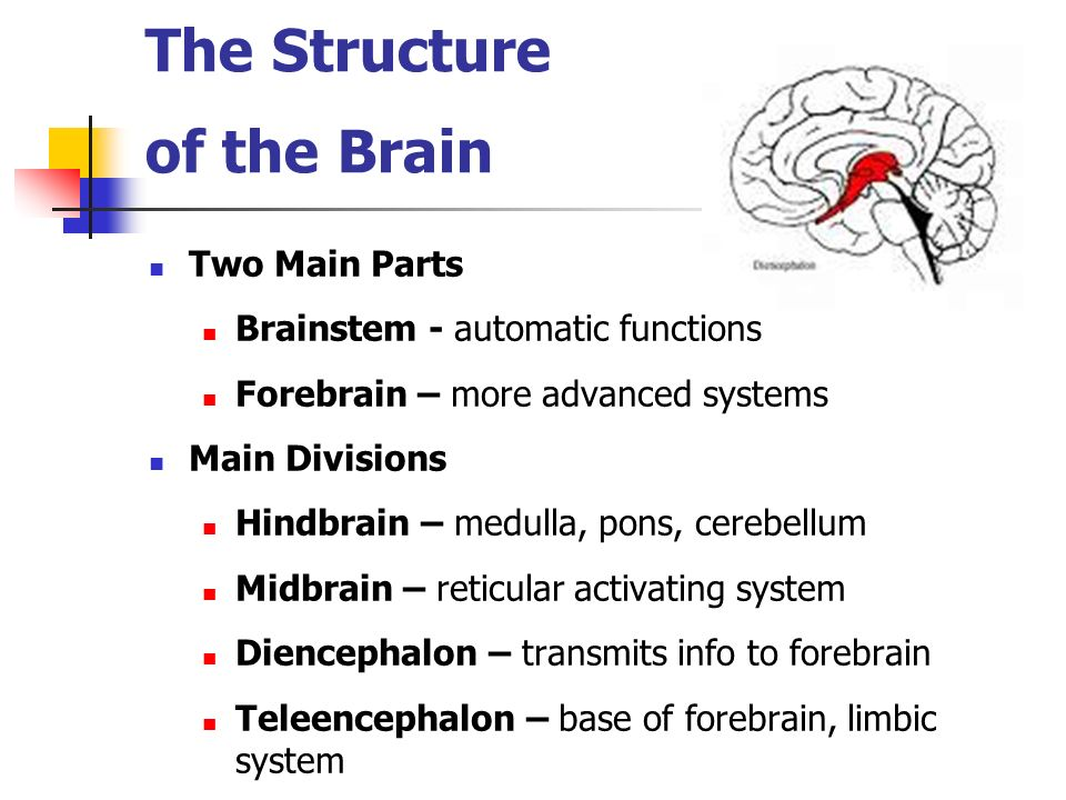The Structure of the Brain Two Main Parts Brainstem - automatic functions Forebrain – more advanced systems Main Divisions Hindbrain – medulla, pons,