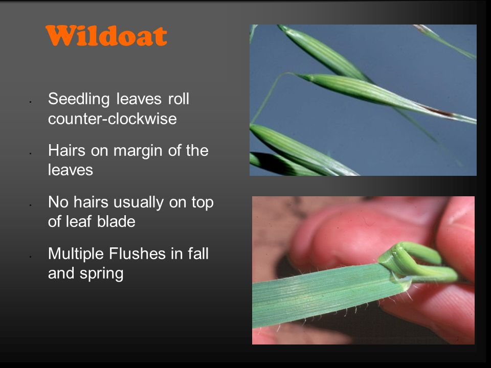 Wildoat Seedling leaves roll counter-clockwise Hairs on margin of the leaves No hairs usually on top of leaf blade Multiple Flushes in fall and spring