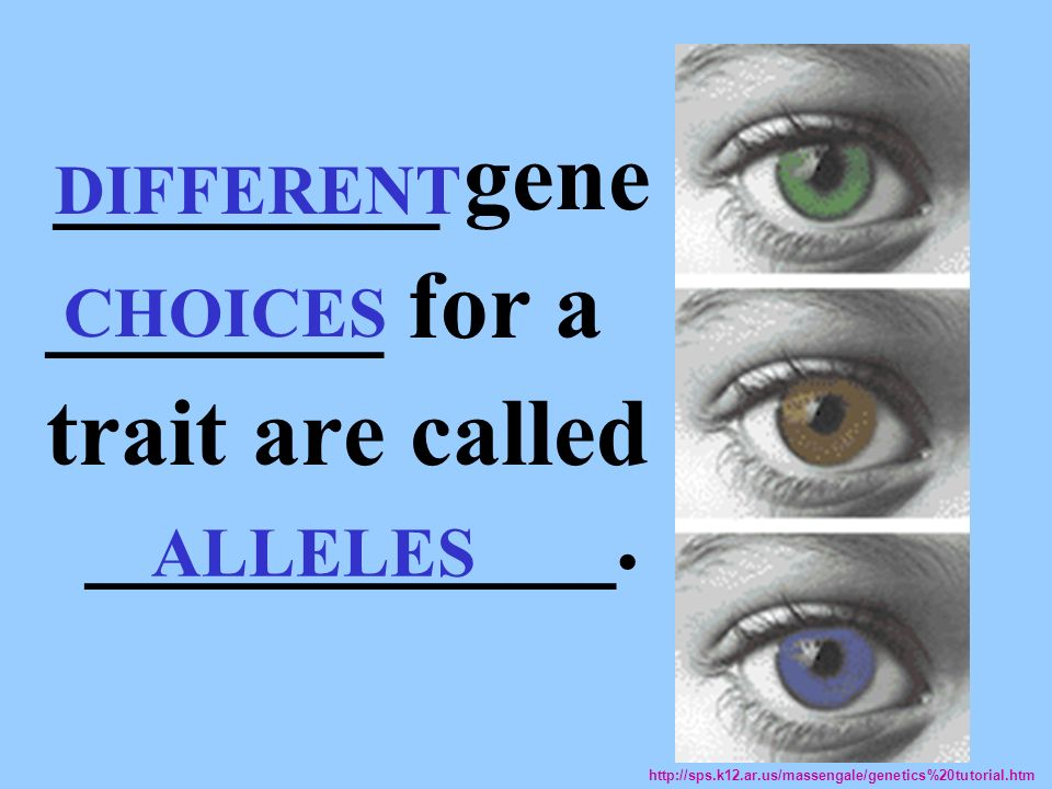 ________ gene _______ for a trait are called ___________. ALLELES http://sps.k12.ar.us/massengale/genetics%20tutorial.htm DIFFERENT CHOICES