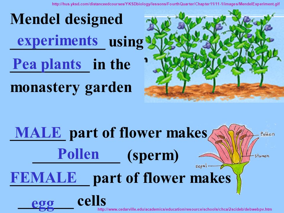 Mendel designed ____________ using __________ in the monastery garden _______ part of flower makes ___________ (sperm) __________ part of flower makes