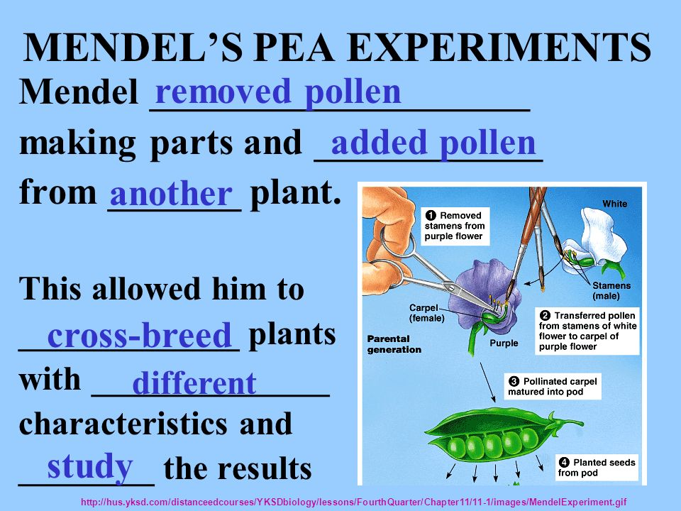 MENDELS PEA EXPERIMENTS Mendel ____________________ making parts and ____________ from _______ plant. This allowed him to _____________ plants with __