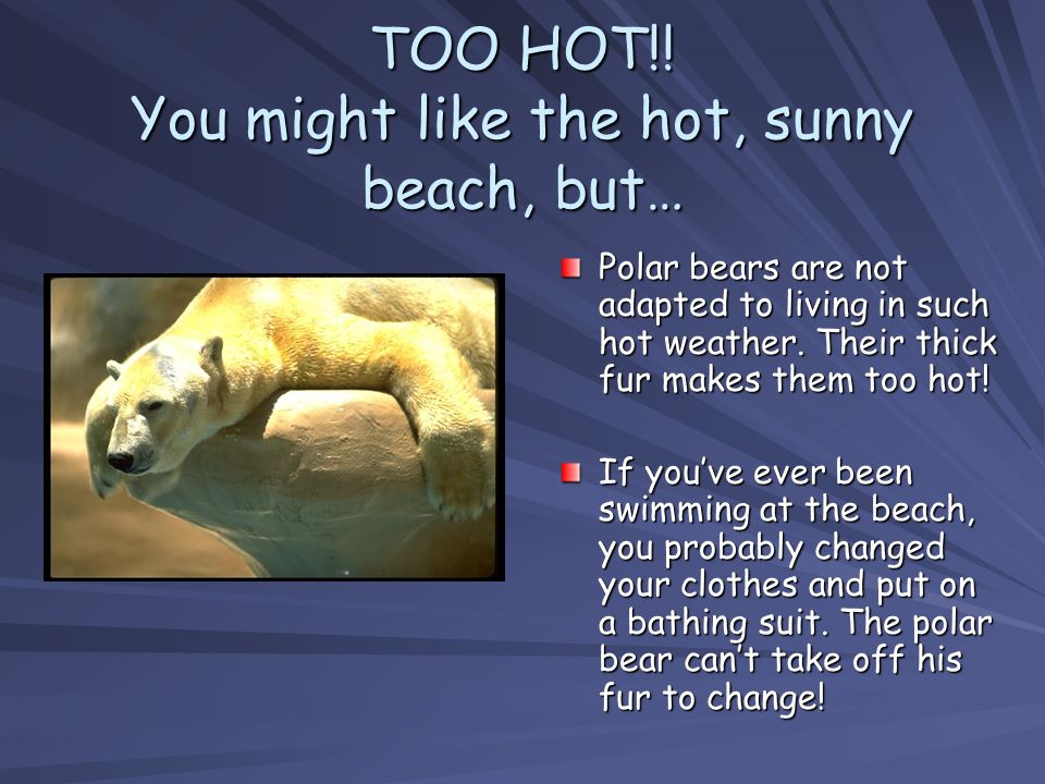 TOO HOT!! You might like the hot, sunny beach, but… Polar bears are not adapted to living in such hot weather. Their thick fur makes them too hot! If