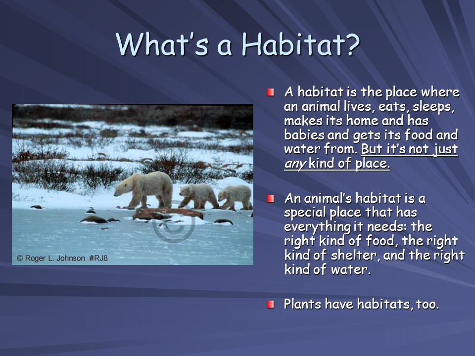 Whats a Habitat? A habitat is the place where an animal lives, eats, sleeps, makes its home and has babies and gets its food and water from. But its n