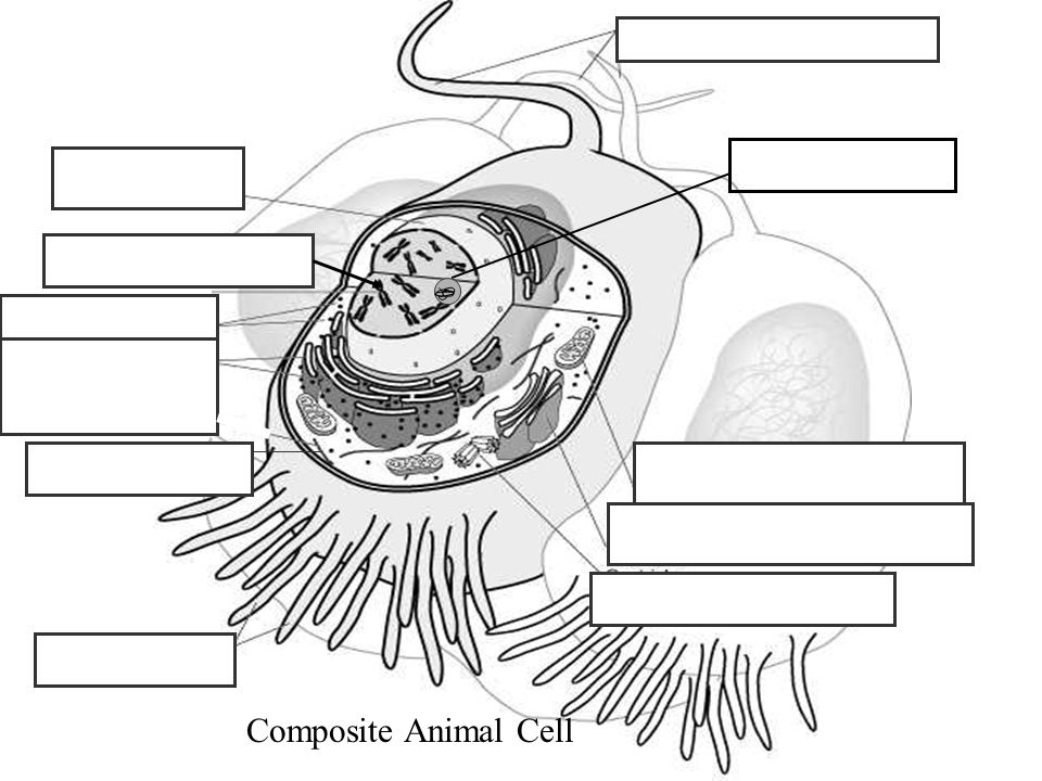 Composite Animal Cell