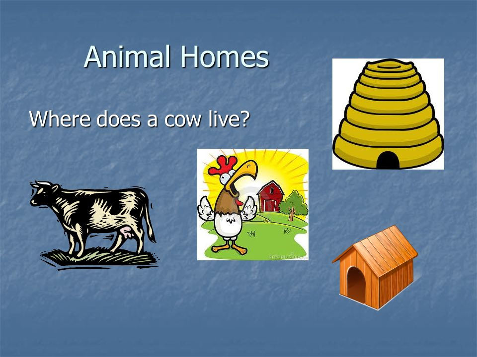 Animal Homes Where does a cow live