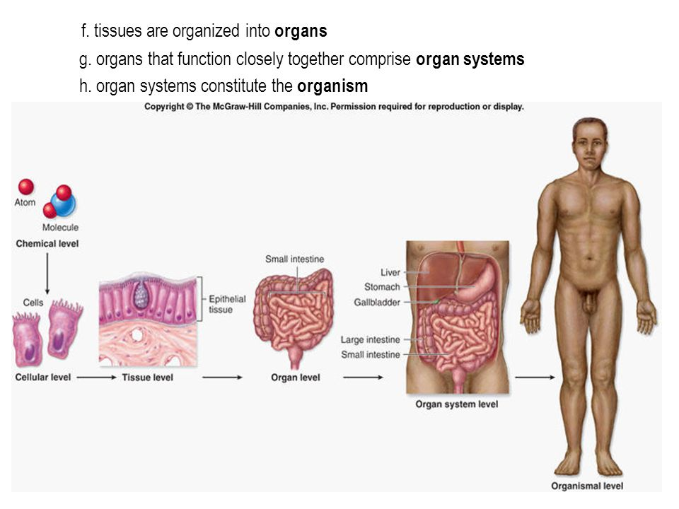 f. tissues are organized into organs g. organs that function closely together comprise organ systems h. organ systems constitute the organism
