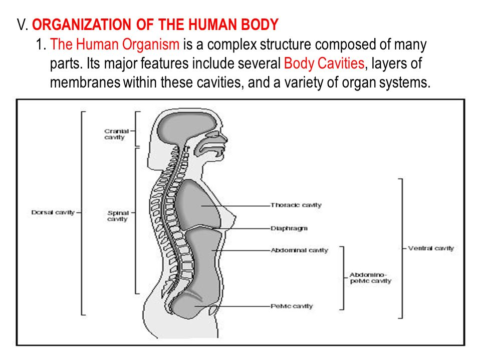 V. ORGANIZATION OF THE HUMAN BODY 1. The Human Organism is a complex structure composed of many parts. Its major features include several Body Cavitie
