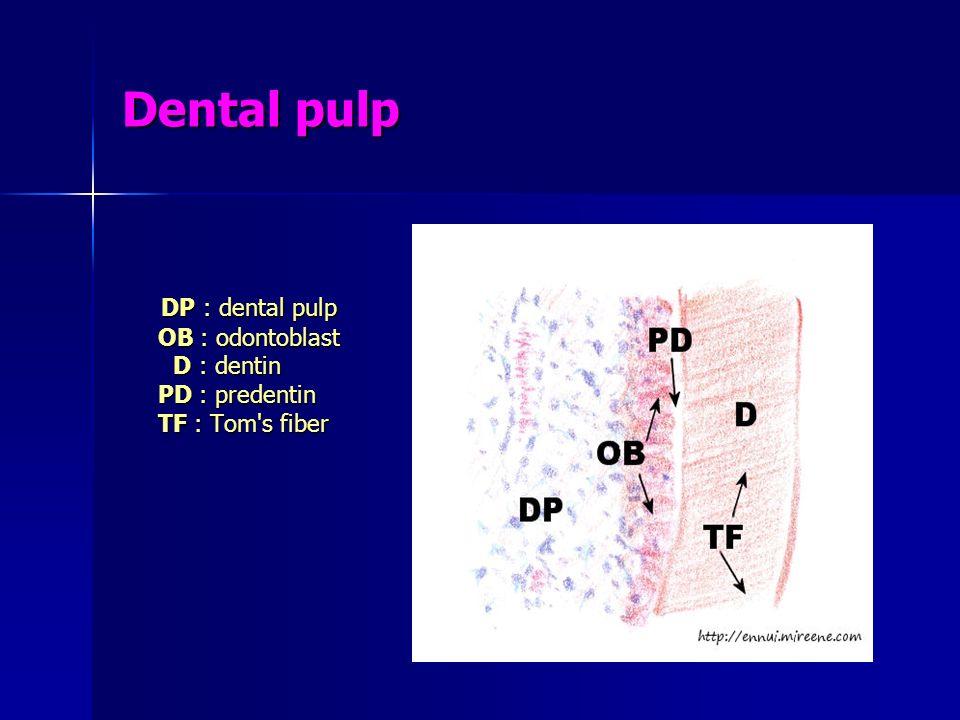 Dental pulp DP : dental pulp OB : odontoblast D : dentin PD : predentin TF : Tom's fiber DP : dental pulp OB : odontoblast D : dentin PD : predentin T