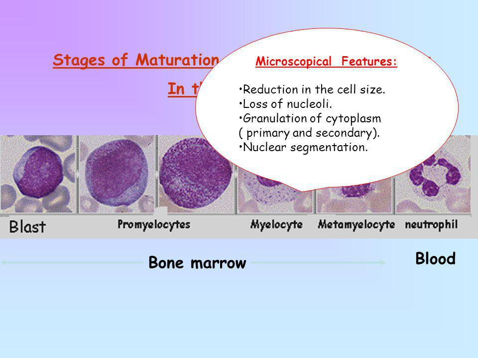 Stages of Maturation of the Granulocytic Series In the bone marrow Bone marrow Blood Microscopical Features: Reduction in the cell size. Loss of nucle
