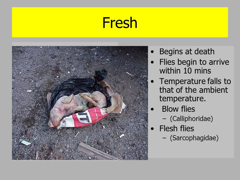 Fresh Begins at death Flies begin to arrive within 10 mins Temperature falls to that of the ambient temperature. Blow flies –(Calliphoridae) Flesh fli