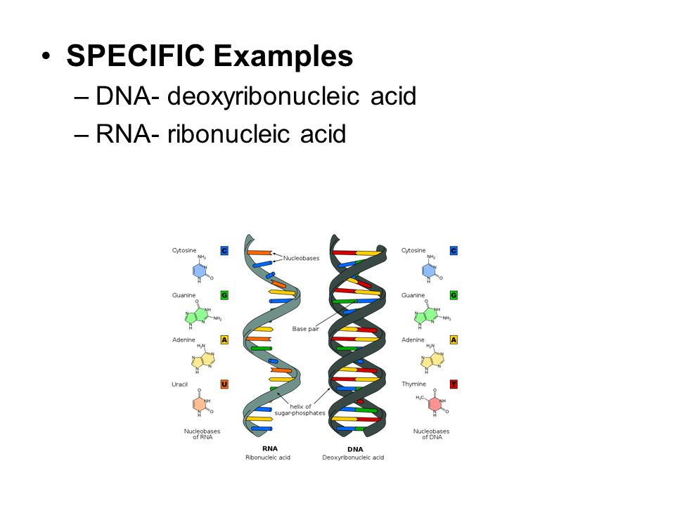 SPECIFIC Examples –DNA- deoxyribonucleic acid –RNA- ribonucleic acid