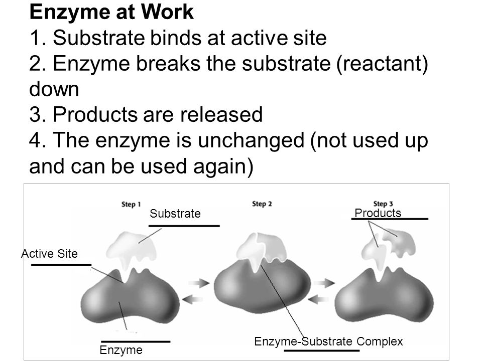Enzyme at Work 1. Substrate binds at active site 2. Enzyme breaks the substrate (reactant) down 3. Products are released 4. The enzyme is unchanged (n