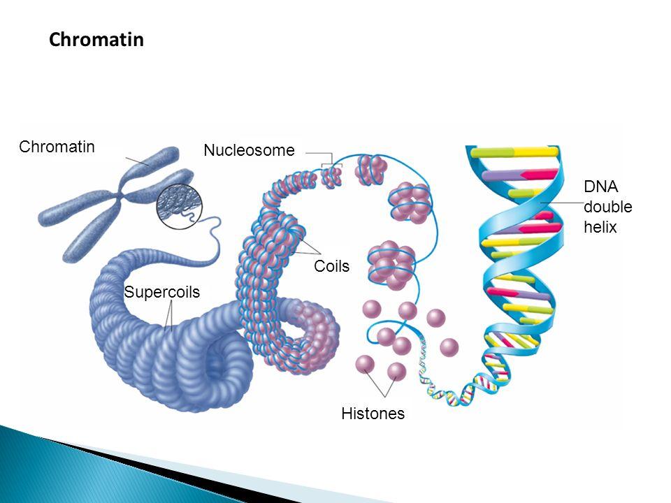 Chromatin Supercoils Nucleosome DNA double helix Histones Coils