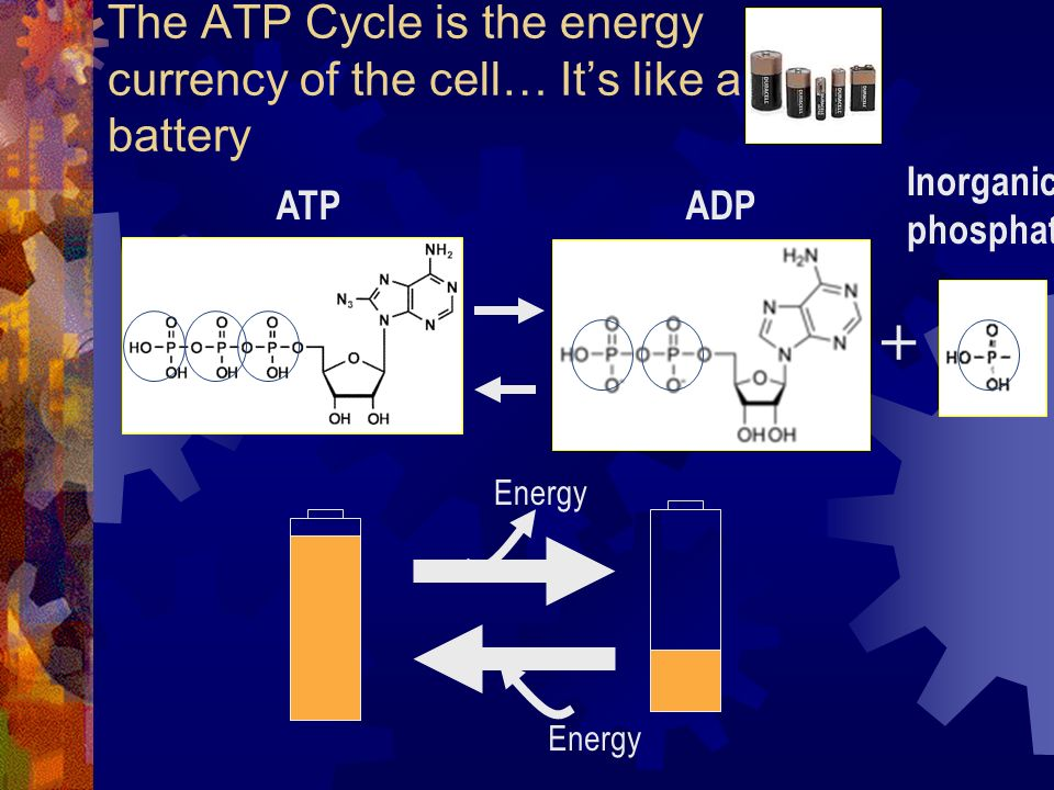 The ATP Cycle is the energy currency of the cell… Its like a battery + ATPADP Inorganic phosphate Energy
