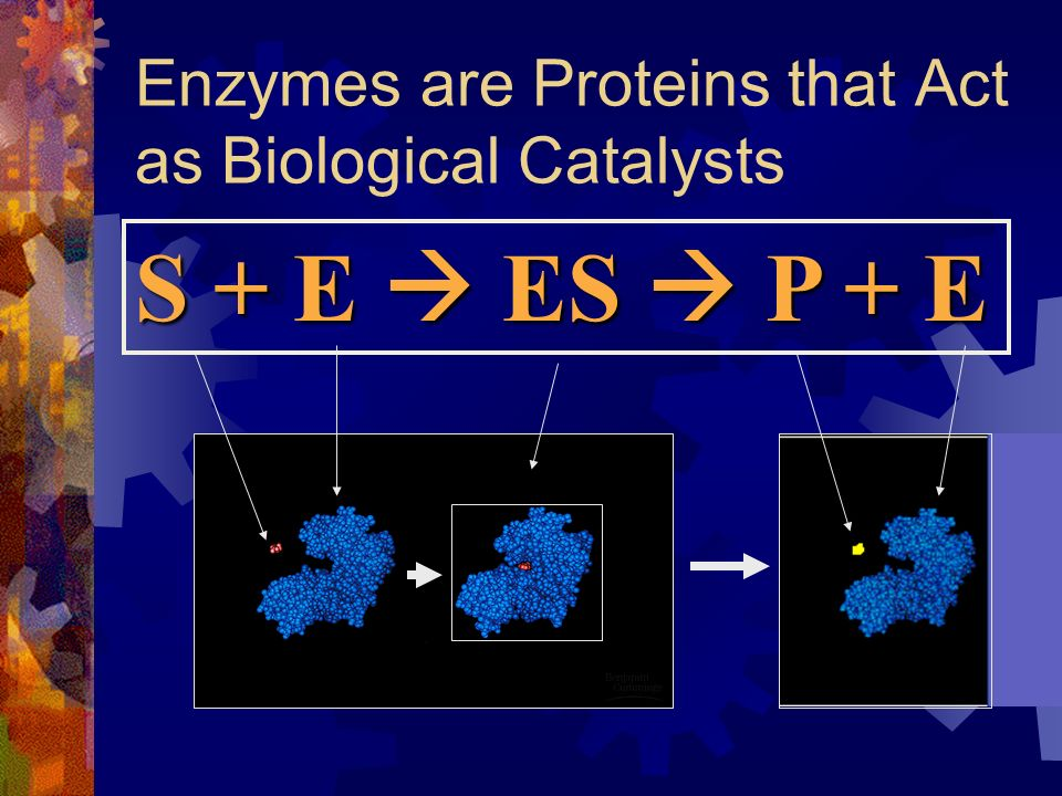 Enzymes are Proteins that Act as Biological Catalysts S + E ES P + E