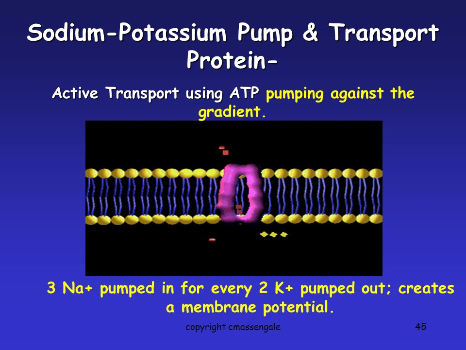 45 Sodium-Potassium Pump & Transport Protein- Active Transport using ATP Active Transport using ATP pumping against the gradient. 3 Na+ pumped in for