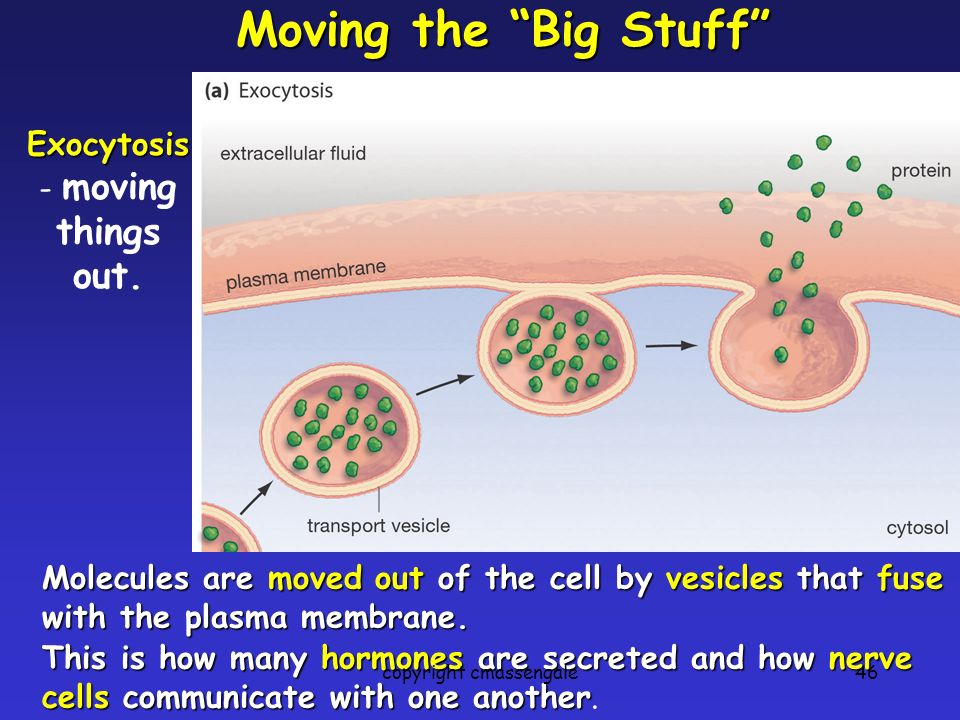 46 Moving the Big Stuff Molecules are moved out of the cell by vesicles that fuse with the plasma membrane. Exocytosis Exocytosis - moving things out.
