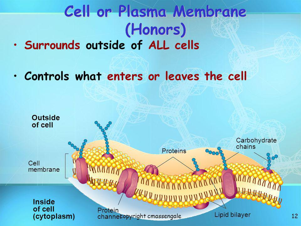 12 Cell or Plasma Membrane (Honors) Outside of cell Inside of cell (cytoplasm) Cell membrane Proteins Protein channel Lipid bilayer Carbohydrate chain