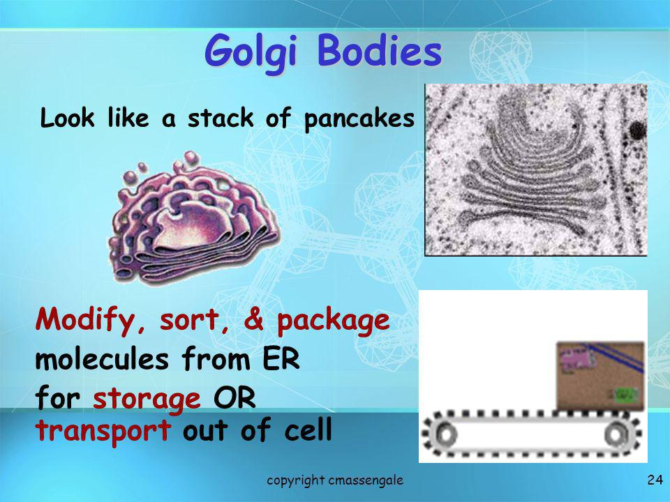 24 Golgi Bodies Look like a stack of pancakes Modify, sort, & package molecules from ER for storage OR transport out of cell copyright cmassengale
