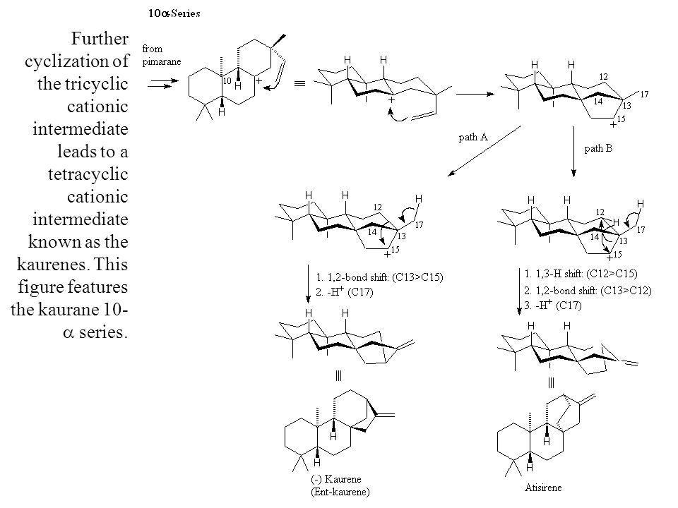 Further cyclization of the tricyclic cationic intermediate leads to a tetracyclic cationic intermediate known as the kaurenes. This figure features th