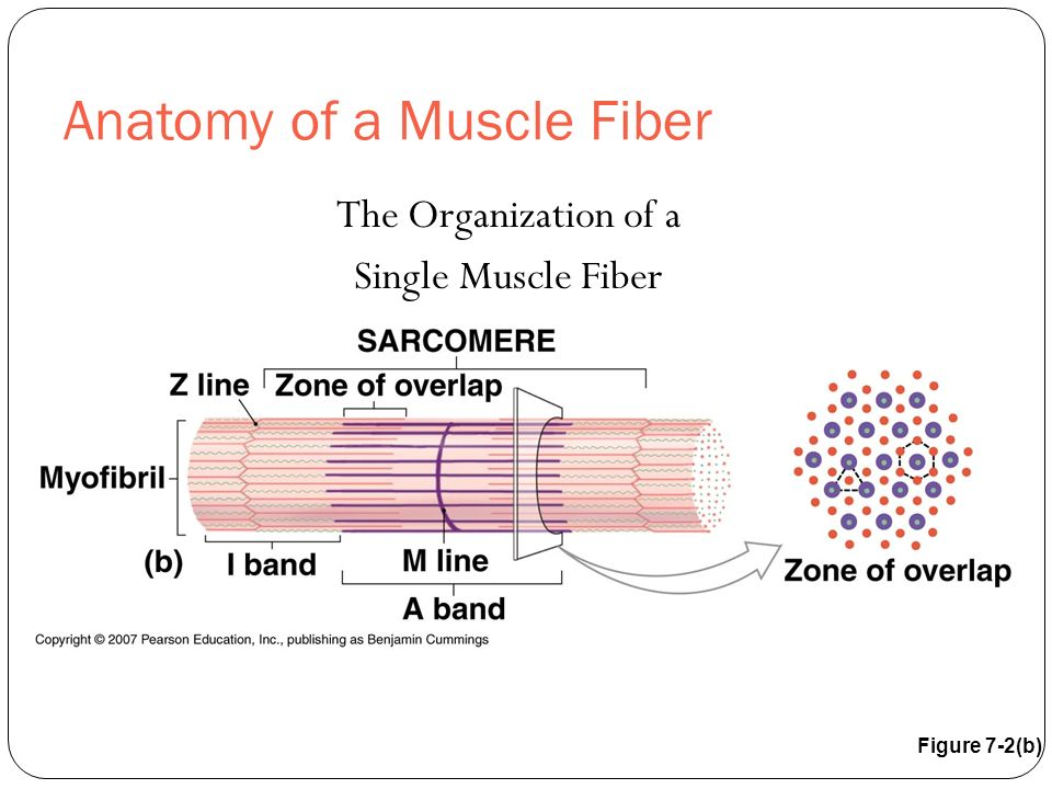Anatomy of a Muscle Fiber The Organization of a Single Muscle Fiber Figure 7-2(b)