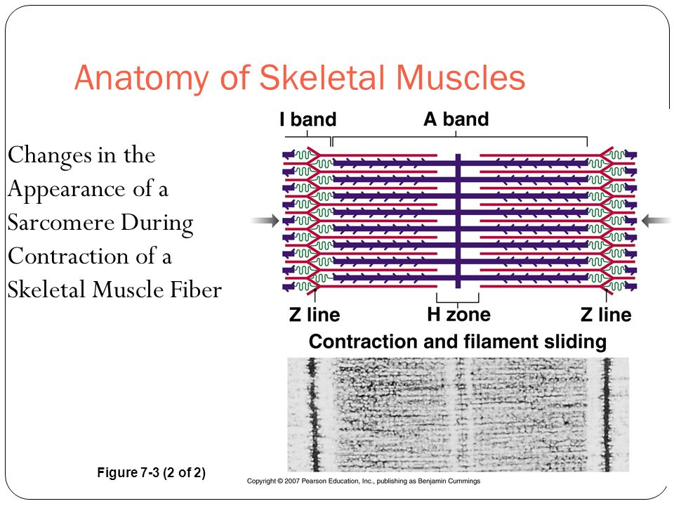 Anatomy of Skeletal Muscles Changes in the Appearance of a Sarcomere During Contraction of a Skeletal Muscle Fiber Figure 7-3 (2 of 2)