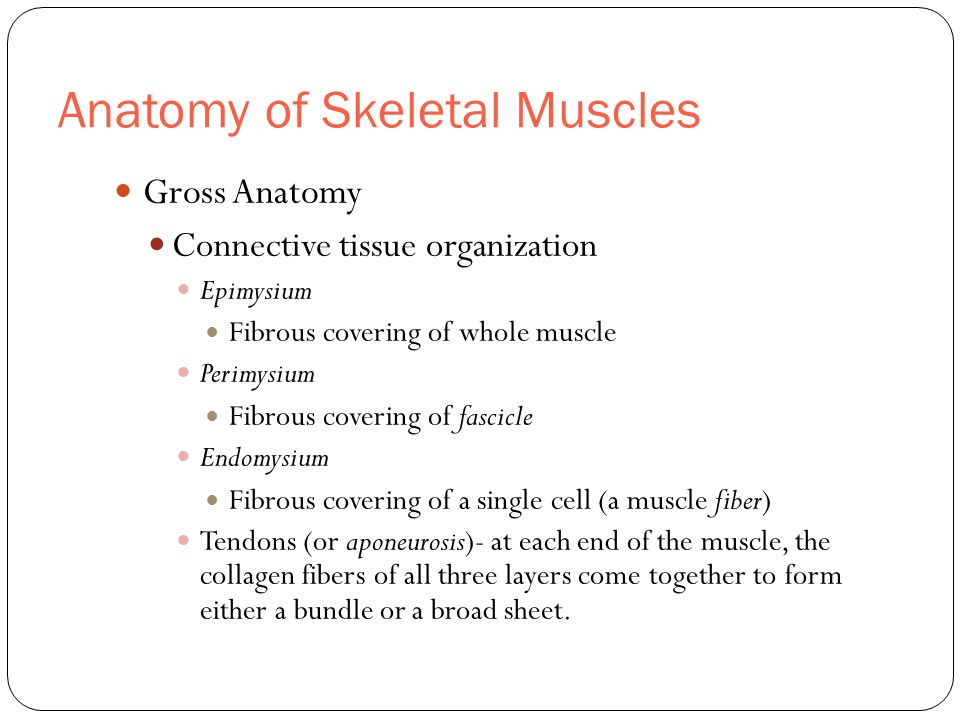 Anatomy of Skeletal Muscles Gross Anatomy Connective tissue organization Epimysium Fibrous covering of whole muscle Perimysium Fibrous covering of fas