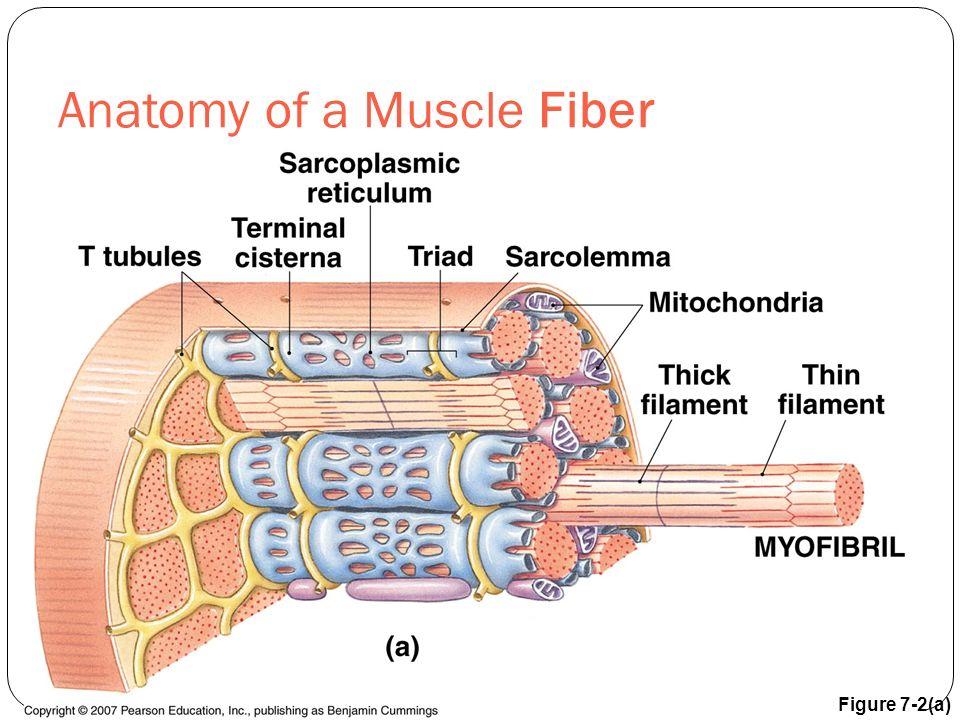 Anatomy of a Muscle Fiber Figure 7-2(a)