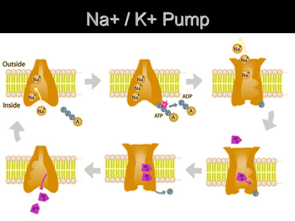 Na+ / K+ Pump