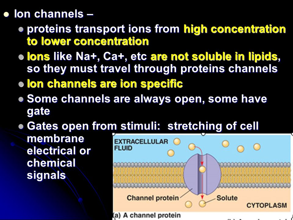 Ion channels – Ion channels – proteins transport ions from high concentration to lower concentration proteins transport ions from high concentration to lower concentration Ions like Na+, Ca+, etc are not soluble in lipids, so they must travel through proteins channels Ions like Na+, Ca+, etc are not soluble in lipids, so they must travel through proteins channels Ion channels are ion specific Ion channels are ion specific Some channels are always open, some have gate Some channels are always open, some have gate Gates open from stimuli: stretching of cell membrane electrical or chemical signals Gates open from stimuli: stretching of cell membrane electrical or chemical signals