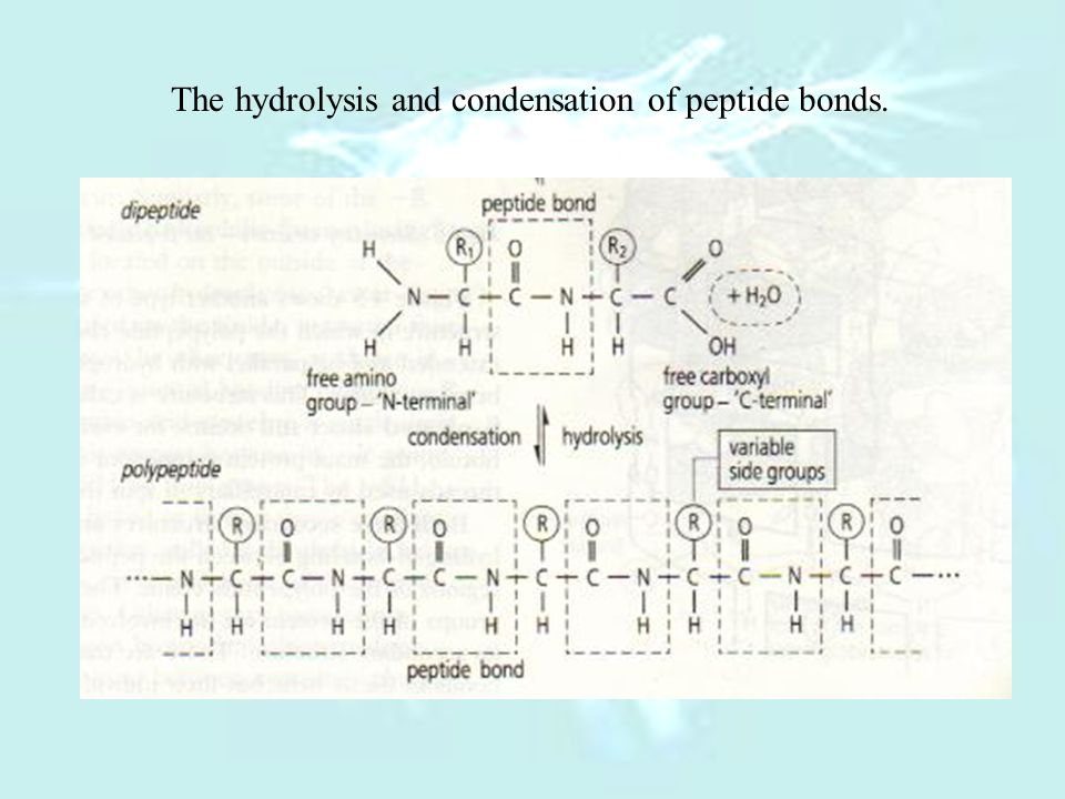 The hydrolysis and condensation of peptide bonds.
