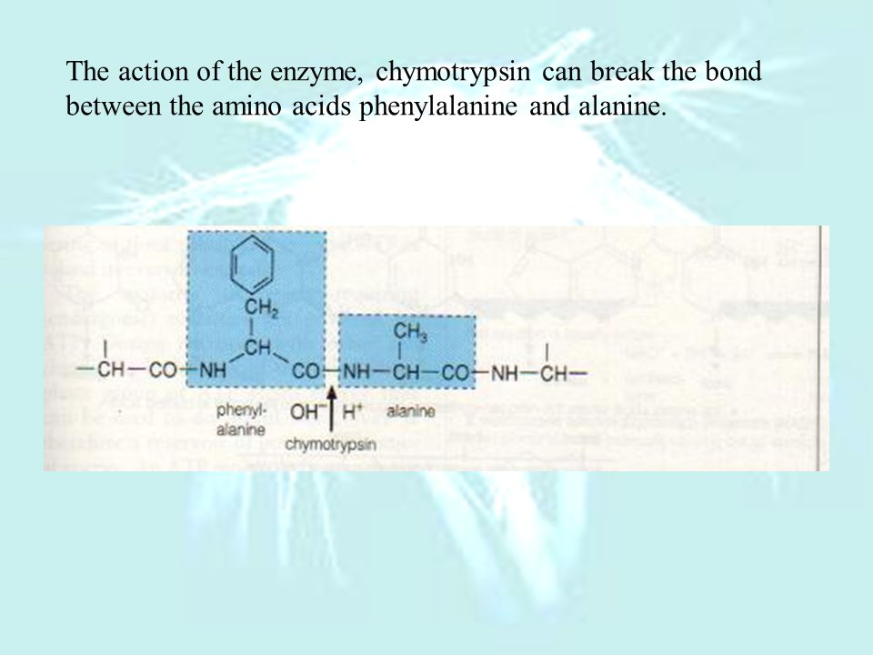 The action of the enzyme, chymotrypsin can break the bond between the amino acids phenylalanine and alanine.
