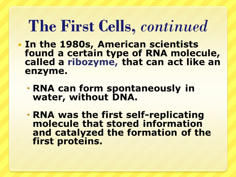 The First Cells, continued In the 1980s, American scientists found a certain type of RNA molecule, called a ribozyme, that can act like an enzyme. RNA
