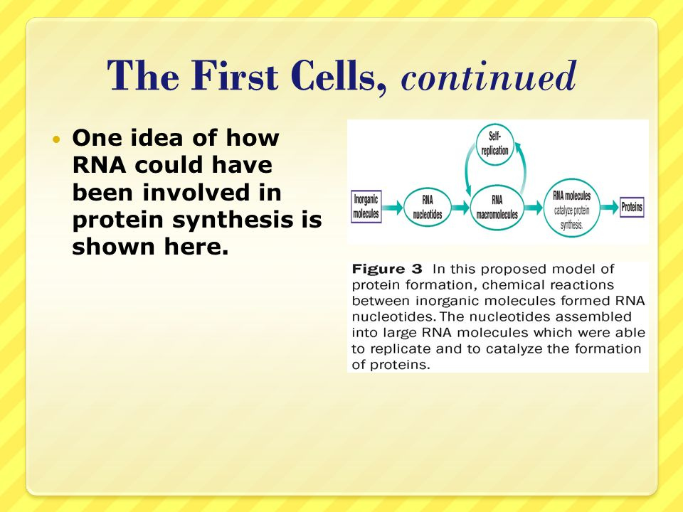 The First Cells, continued One idea of how RNA could have been involved in protein synthesis is shown here.