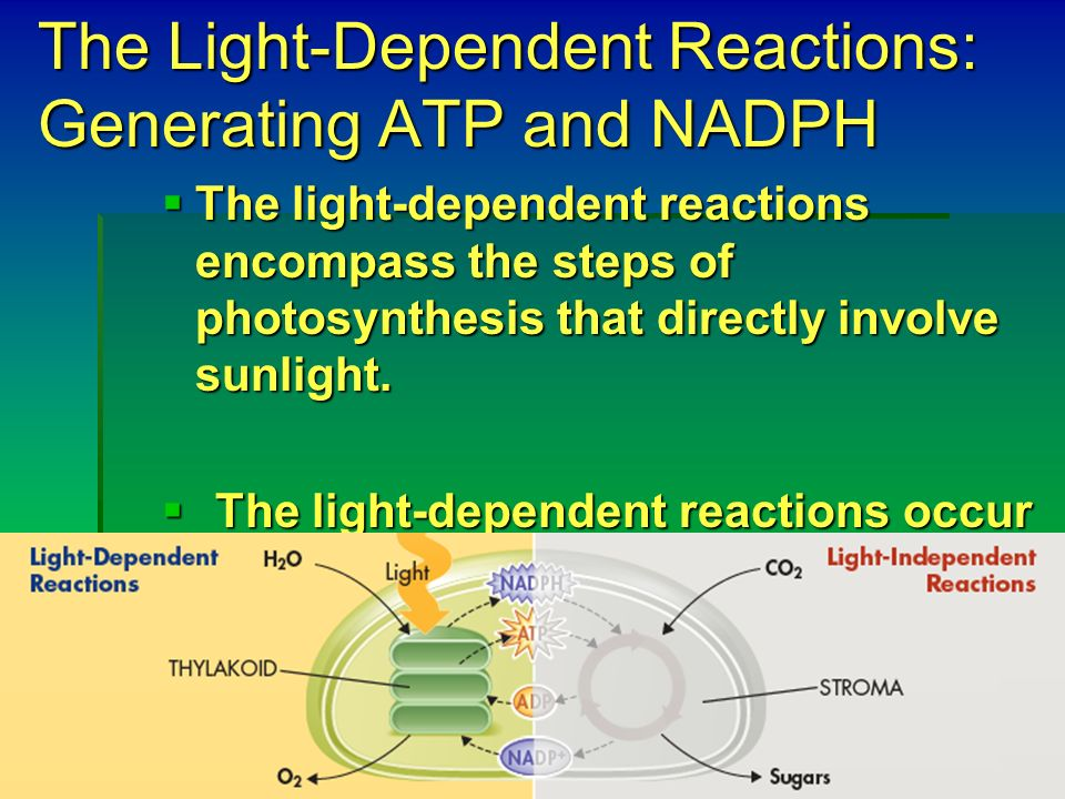 dependent independent light lab View lab report - oxygen and photosynthesislab from biology 1115 at virginia tech light dependent and independent reactions and the effect on respiration and photosynthesis principles of biology lab.