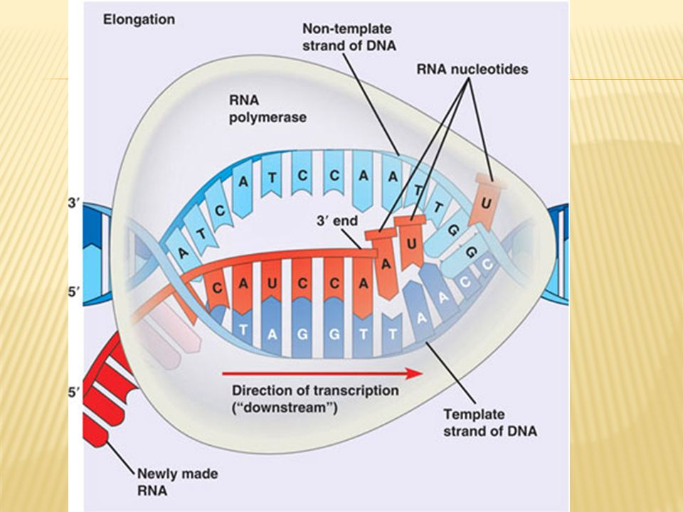 3 types of RNA are made during transcription Messenger RNA (mRNA) – copy of the DNA Transfer RNA (tRNA) – carries nucleotides to the ribosome Ribosomal RNA (rRNA) – part of the ribosome